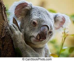 koala bear in forest - koala a bear sits on a branch of a...