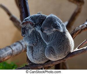 Koala Bears cuddling on a branch - Australian Koala bears...