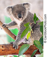Koala - Beautiful koala bear (Phascolarctos cinereus)...