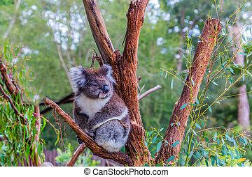 koala, eller, björn, pungdjur
