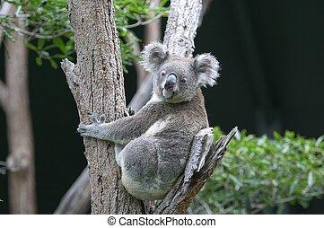 koala, em, árvore
