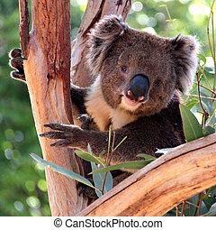 koala, em, um, árvore eucalipto, adelaide, austrália