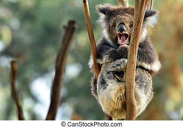 koala, gäspande, på, en, eukalyptus träd