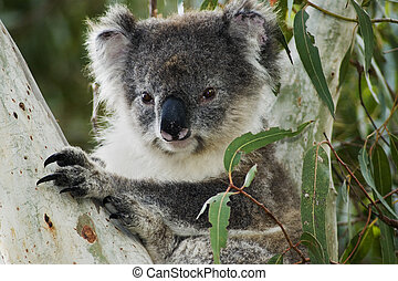 Koala in Australia - Koala in eucalyptus tree on Kangaroo...