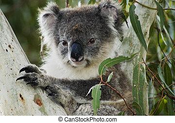 Koala in Australia - Koala in eucalyptus tree on Kangaroo ...