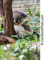 Koala in Tree, Chiangmai Zoo, zthailand