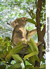 Koala in tree. - Koala in tree eating eucalyptus leaves in...