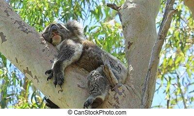 A cute koala, Phascolarctos cinereus, sleeping on eucalyptus branch's in Yanchep National Park, Western Australia. Yanchep has been home to a colony of koalas since 1938.