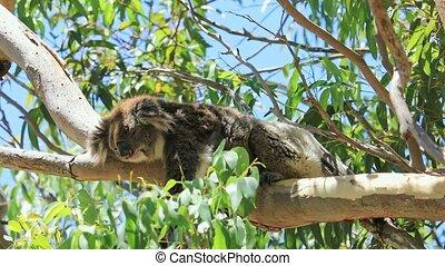A koala, Phascolarctos cinereus, sleeping on a branch of eucalyptus in Yanchep National Park, Western Australia. Yanchep has been home to a colony of koalas since 1938. Blue sky, summer season.