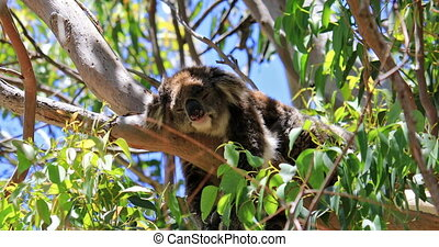 Koala in Yanchep National Park