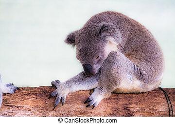 koala, natürlich, ihr, lebensraum
