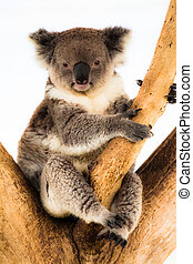 koala, natural, su, habitat