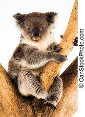 koala, naturlig, dens, habitat