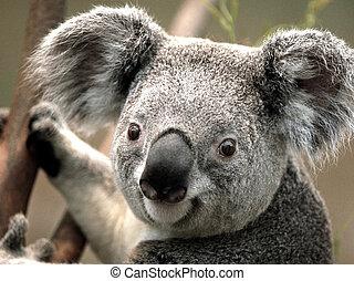 koala on the tree - Close-up image of a Koala holding on the...
