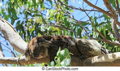 A koala on a eucalyptus tree of the Yanchep National Park, Western Australia. Wild Koala outdoor in the wilderness.