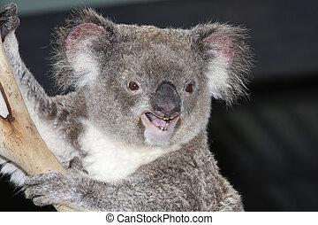 koala, phasclarctas, cinereus, träd-, pungdjur, av, östlig,...