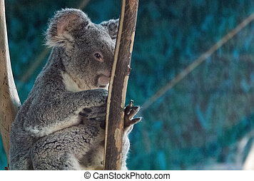 Koala relaxed in the branches of a tree