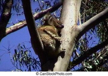 Koala Scratching