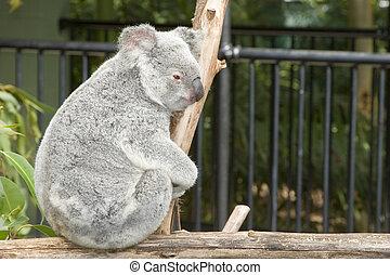 koala, seite, bär, ansicht