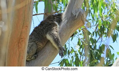 Close up of adult male koala, Phascolarctos cinereus, sleeping lying on a branch of eucalyptus in Yanchep National Park in Western Australia. Yanchep has been home to a colony of koalas since 1938.