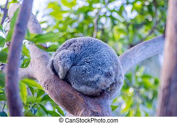 Koala sleeping on a tree