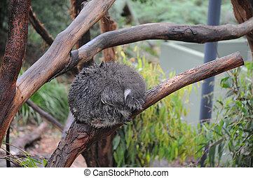 Koala sleeping on a wet tree