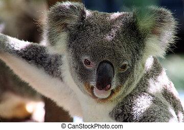 Koala - wild koala in australia