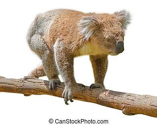 Koala walking - Koala adult male walking on the branch of a...