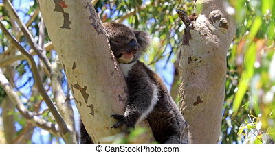Koala Western Australia - Adorable koala sleeping on a tree...