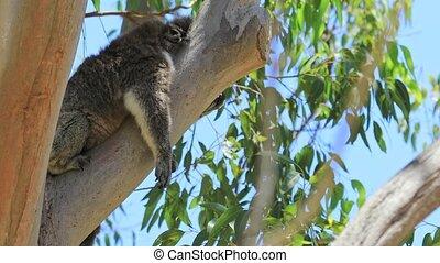 Adorable koala sleeping on a tree of eucalyptus in Yanchep National Park, Western Australia. Wild Koala outdoor in the wilderness.