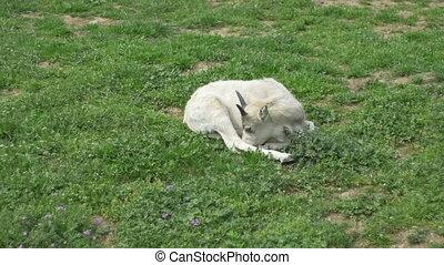 Kob Antelope Foal - A kob antelope foal standing in the...