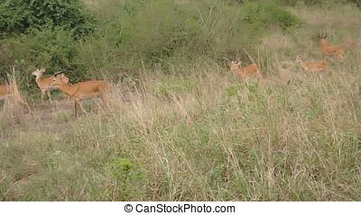 Kob in field, Queen Elizabeth National Park, Uganda - Kob in...