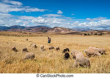 kobieta, pasterz, peruwiański, andy, cuzco, peru
