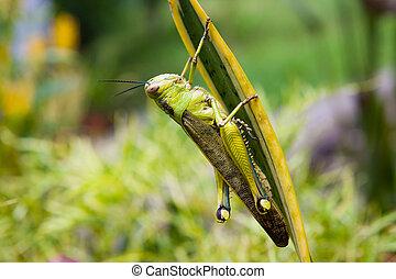 kobylka luční, list