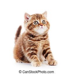 kociątko, shorthair, odizolowany, brytyjski, kot