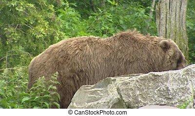 Kodiak bear (Ursus arctos middendorffi) walks behind rock