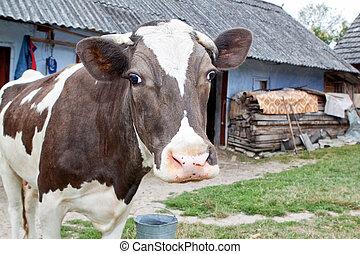 koe, farm.