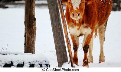 koe, grazen, in, de, winter, sneeuw, weide, bevinding, droog, gras