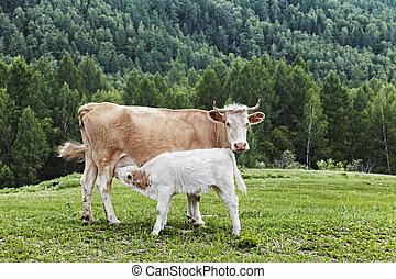 koe, kalf