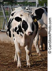 koe, zwangere
