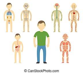 koerper, anatomy., karikatur, mann