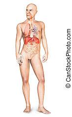 koerper, atmungssystem, textilfreie , voll, mann, stehende