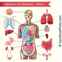 koerper, diagramm, organe, menschliche