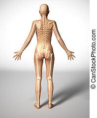 koerper, frau, skelett, back., knochen, angesehen