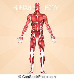 koerper, menschliche