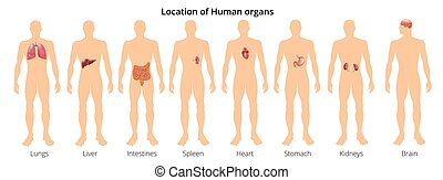 koerper, organ, flashcards, educative, zurück, abbildung, koerperbau, realistisch, vektor, systeme, menschliche , plakat, front, 8, physiologie, ansicht
