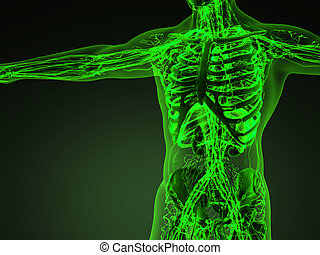 koerper, zirkulation, system, menschliche , knochen, durchsichtig, kardiovaskulär