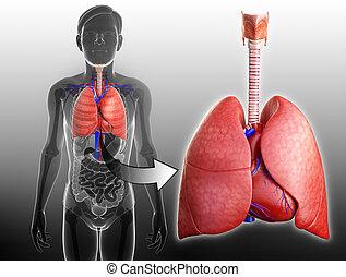 koerperbau, mann, lungen