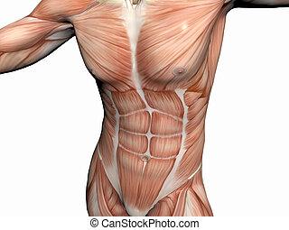 koerperbau, mann, man., muskulös