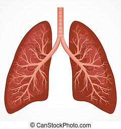 koerperbau, menschliche , diagramm, lunge